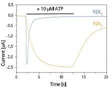 P2X Receptors